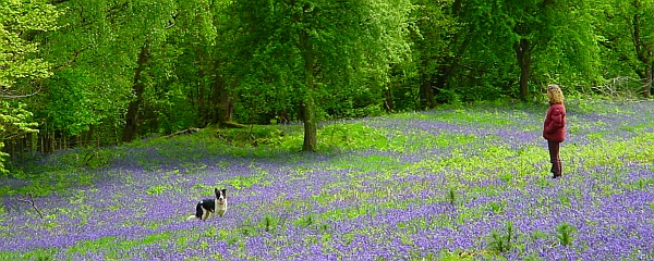 Blue bells in May