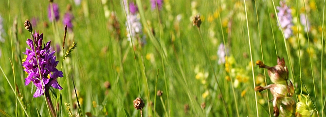 Wild Meadows and orchids