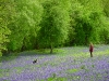 Bluebells in May 10 mins walk away